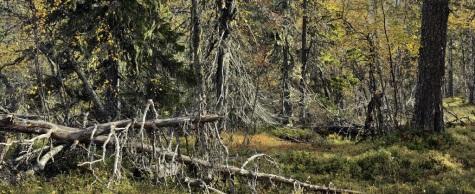 Ritva kOvalainen ja kultaista metsää.