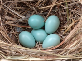 Starling_eggs